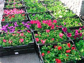 Рассада летних цветов