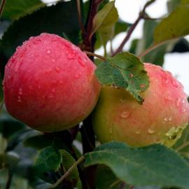 Яблоня Араматное