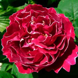 Роза Барон Жирон де Лайон