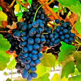 Виноград Космос