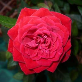 Роза Красная Шапочка