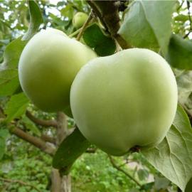 Яблоня Лавриково