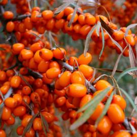 Облепиха Ботаническая ароматная