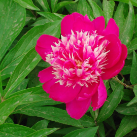 Пион травянистый Магический Цветок