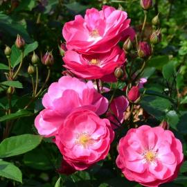 Роза Анжела