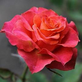Роза Апачи