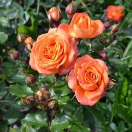 Роза спрей Золотые Купола
