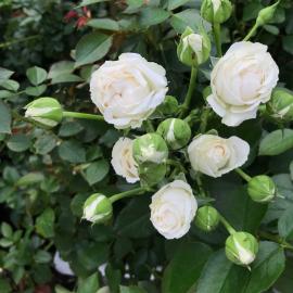 Роза Белый Букет