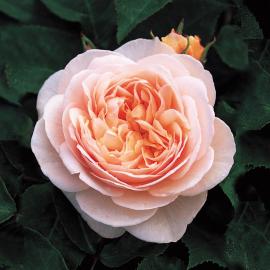 Роза Джульетта