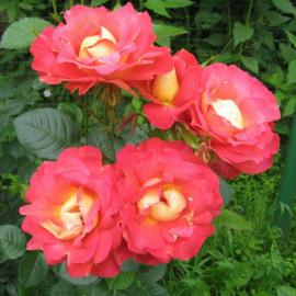 Роза Фамоста