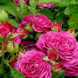 Роза Heidi Klum