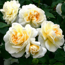 Роза Леди Романтика
