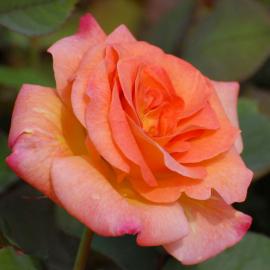 Роза Лос Анджелес