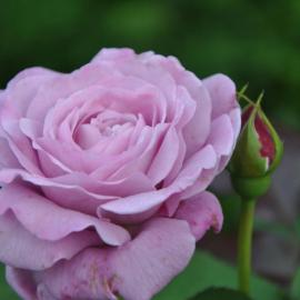 Роза Лугдунум