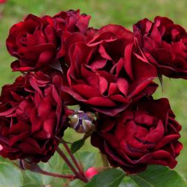 Роза Маликорн