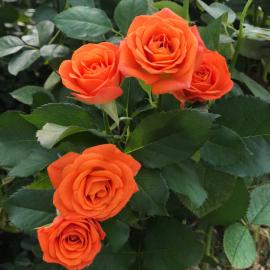 Роза Оранж Беби