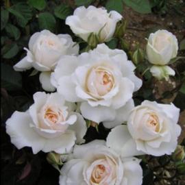 Роза Принцесса