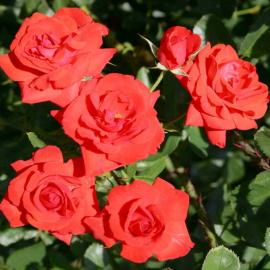 Роза Ред Бриллиант