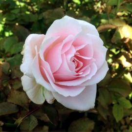 Роза Свит Аваланж
