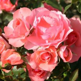 Роза Жарден де Франц