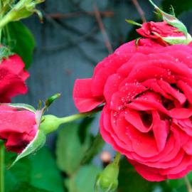 Роза Вьюшка розовая